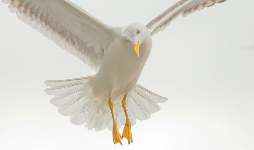 vliegende meeuw van Anne Koop