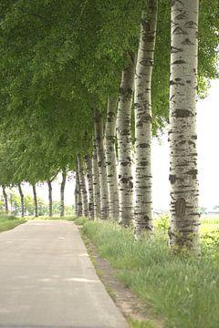 populieren bomen met blad en ogen langs de openbare weg van Jannet Bolhuis