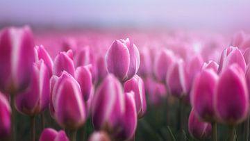 Pink von Klaas Fidom