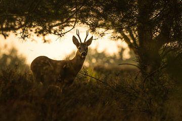 Roe deer van Stijn Smits