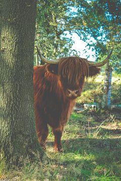 Schotse hooglander in natuurlijke omgeving van Laura Reedijk