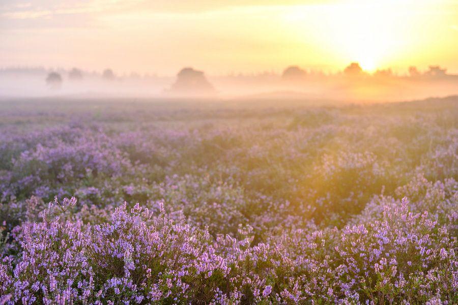 Bloeiende heide op de Veluwe tijdens zonsopkomst