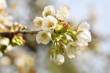 Kirschenblüte von Hans-Jürgen Janda