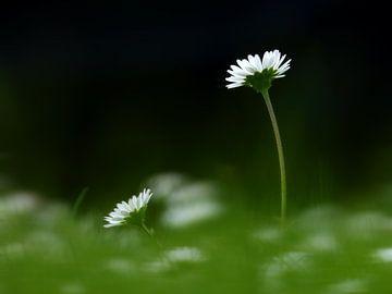 Gänseblümchen von Caroline Lichthart