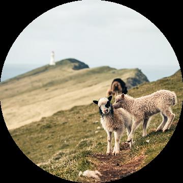 Lammetjes op  het eiland Mykines, Faeröer Eilanden van Expeditie Aardbol