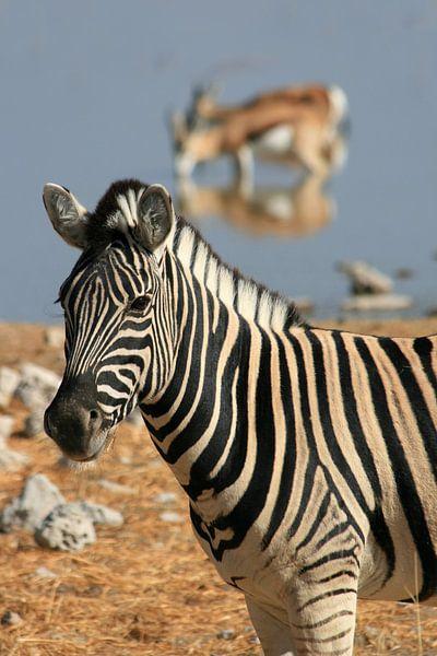Zebra bij een waterpoel