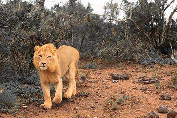 Afrikaanse leeuw in natuurlijke omgeving aan het jagen van Bobsphotography