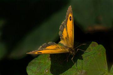 vlinder von Arjo Tuitman