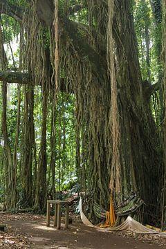Banyan boom met lianen