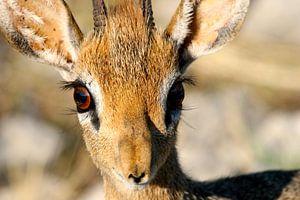 DikDik, kleinste antiloop soort, Etosha, Namibië van