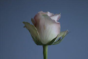 Rose von Clicksby JB