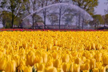 Soif de tulipes sur Erik Koole