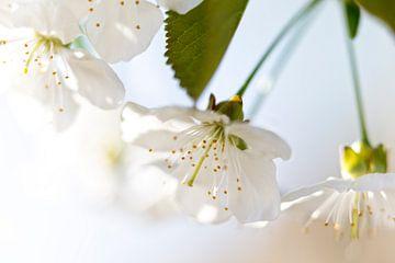 Blüte im Frühling von Miranda van Hulst