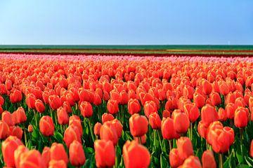 Oranje bollenveld van