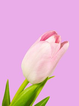 Rosa Tulpenblüte von Katrin May