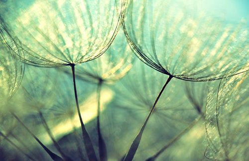 Paardenbloem - Dandelion pastell