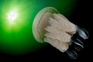 Grote kwal in Zeeland van Filip Staes