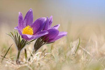 Common Pasque Flowers / European Pasqueflower (Pulsatilla vulgaris) van wunderbare Erde