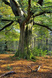 Oude beukenbom