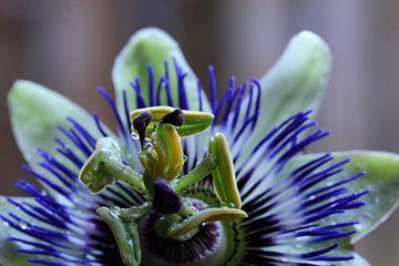Passiebloem/Passiflora van Tineke Roosen
