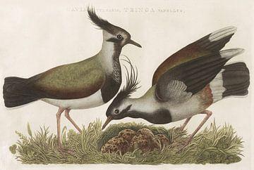 Kievit (Gavia Vulgaris, Tringa Vanellus) van Nederlandsche Vogelen, Cornelis Nozeman van Teylers Museum
