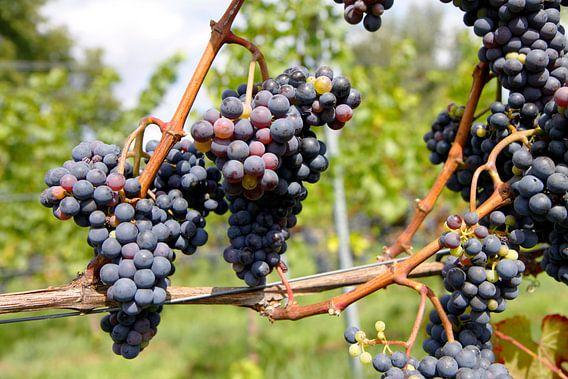 Druiven voor de wijn