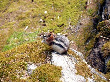 Eekhoorn Canada  von Tonny Swinkels