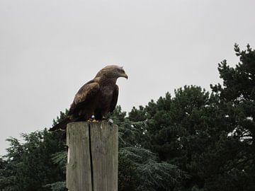 De condor gespot op een paal von Wilbert Van Veldhuizen