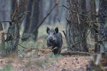Wildzwijn in het bos - Sus scrofa van whmpictures .com