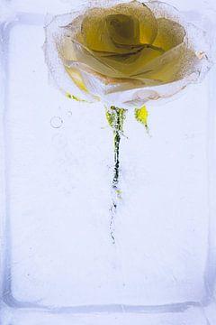Gelb-weiße Rose in Eis 2 von Marc Heiligenstein