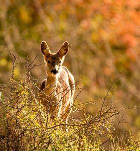 Hirsche im Herbstwald