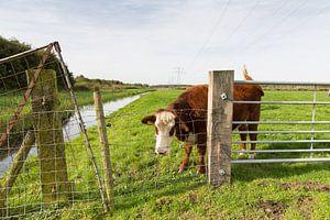 Koe in de wei, zwiepend met zijn staart van