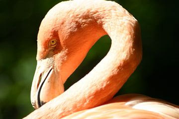 Flamingo # 1 hautnah von EnWout
