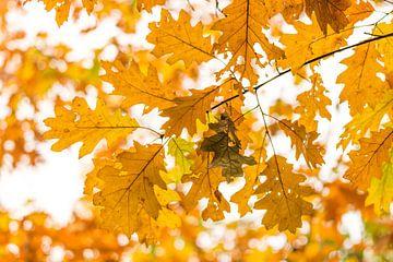 Feuilles d'automne jaunes sur Max ter Burg