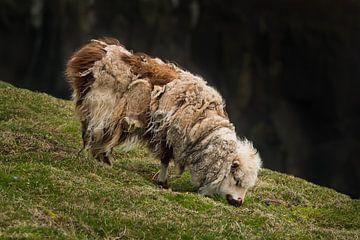 Zerzaustes Schaf von Denis Feiner