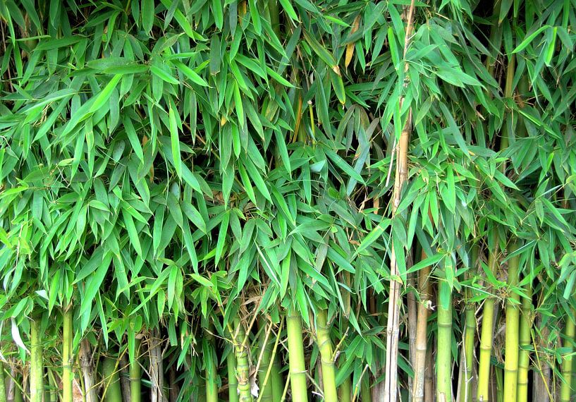 Bamboe achtergrond van Sigrid Klop