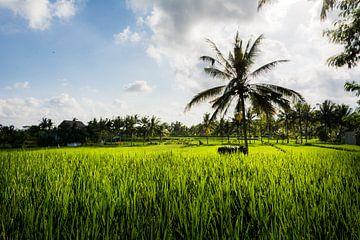 Palmboom in rijstveld van Suzanne Spijkers