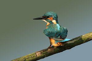 IJsvogel op een stok.