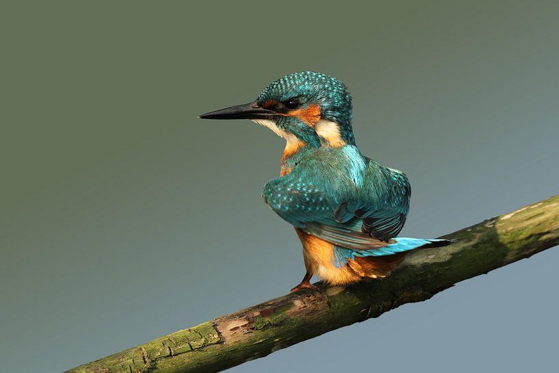 IJsvogel op een stok. van Paul Wendels
