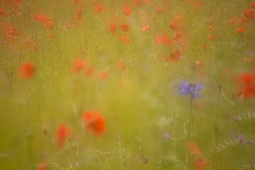 Cornflower in einem Mohnfeld . Oosterheide, Oosterhout, Nord-Brabant, Niederlande, Holland. von Ad Huijben