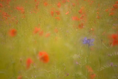Korenbloem in een veld van klaprozen. Oosterheide, Oosterhout, Noord Brabant, Nederland, Holland. van