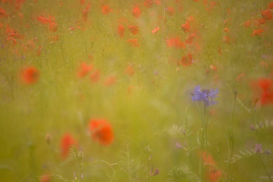 Korenbloem in een veld van klaprozen. Oosterheide, Oosterhout, Noord Brabant, Nederland, Holland.