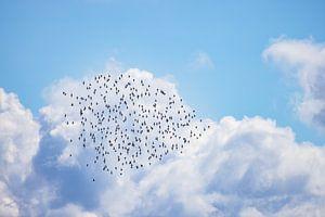 Nuage de godwits à queue barrée au-dessus de la mer des Wadden Vlieland.