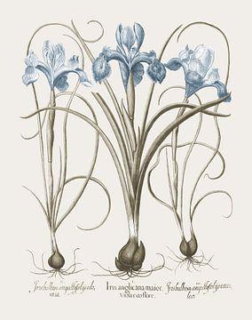 Basilius Besler-Iris und Lilie II