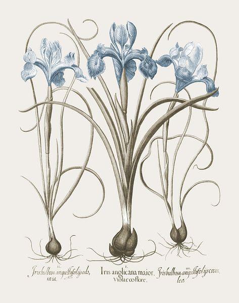 Basilius Besler-Iris und Lilie II von finemasterpiece