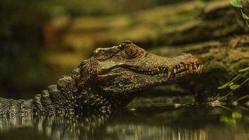 Krokodil 3 von Dirk Herdramm