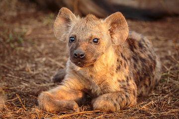Portret van een jonge Gevlekte hyena van
