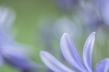 Afrikanische Lilie  von Minie Drost