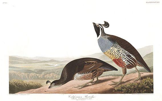 Californische Kuifkwartel van Birds of America