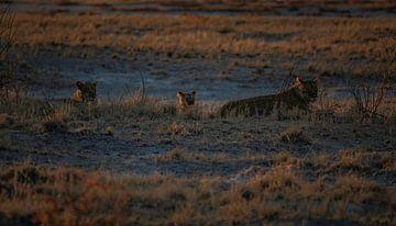 Moments de lion d'or sur Joris Pannemans - Loris Photography